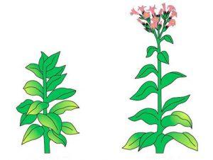 Вегитация растения